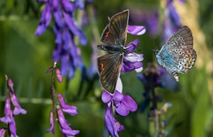 The love gives me wings! :D (lkiraly72) Tags: butterfly love funny wings closeup spring commonblue