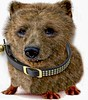 Guinea Bear (Logan Pierson) Tags: guinea pig bear grizzly photoshop collar corgi