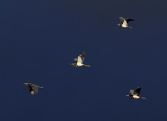 06-02-18-0020853 1 (Lake Worth) Tags: animal animals bird birds birdwatcher everglades southflorida feathers florida nature outdoor outdoors waterbirds wetlands wildlife wings