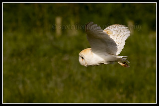 IMG_0400 Barn Owl