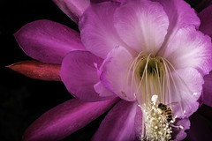 Clown Epiphyllum With Pollinator (Bill Gracey 19 Million Views) Tags: epiphyllum epi strobe lastoliteezbox softbox yongnuo yongnuorf603n garden ambientlight bee pollinator color colorful pink directionallight lakeside