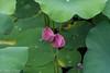 Lotus PondJun3LO-0006 (Mary D'Elia) Tags: fncc florida lotus lotusflowers lotuspond