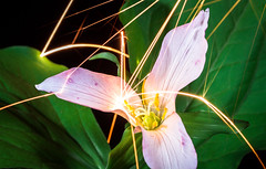 Magnesium Sparks on a Trillium (Xuberant Noodle) Tags: abstract arc beautiful botany bounce bouncing bright burn burning color colorful colour colourful down environment explode fire fizzle flower flying green heat hot leaf leaves light magnesium nature night north northwest outdoor outdoors outside ovatum pacific petal plant pnw pollen pretty rain raining spark strike trillium vegetation vibrant west western