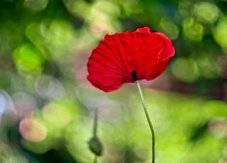 A poppy in anamorphic bokeh