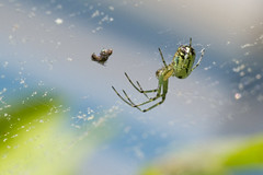Orb Weaver Success (brucetopher) Tags: spider spiders arachnid eight legs 8 orb web weave orbweaver bug bugs creepycrawly bugsandspiders ornate beautiful nature natural tiny trap snare catch agile nimble woven green sky lookingup dinner eat feed feeding