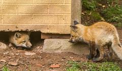 IMGL1482 Pugwash Red Fox Kit(s) (Wallace River) Tags: foxes novascotia pugwashfoxes redfoxes