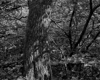 Tree, leaf and branch (Hyons Wood)