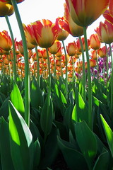 Skagit Valley Tulip Festival 2018 (Aneonrib) Tags: skagit valley tulip festival 2018 tulips flowers mount vernon wa sun april roozengaarde annual spring northwest county washington state landscape field flowrbed plant outdoor panasonic lumix red backlighting orange