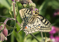 Swallowtail butterfly (explored) (Anne Richardson) Tags: hickling hicklingbroad swallowtail butterfly wildlife nature norfolk insect macro macrophotography