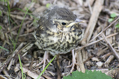 "songthrush2-crop • <a style=""font-size:0.8em;"" href=""http://www.flickr.com/photos/157241634@N04/27840709687/"" target=""_blank"">View on Flickr</a>"