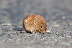 Bank Vole (Simon Stobart) Tags: bank vole myodes glareolus north east england uk road young