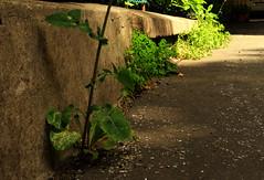 Weeds (erbaccia)