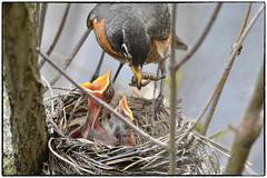 Feeding series (6/9 images) (RKop) Tags: feeding d500 nikkor600f4evr 14xtciii raphaelkopanphotography nikon mageemarsh ohio wildlife