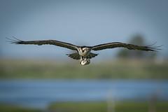 Osprey with Bluefish (rich0234) Tags: nature osprey bluefish forsythewildliferefuge