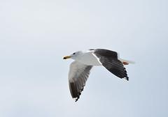 Lesser Black-backed Gull 4-6-18 (Carol Riddell) Tags: air bird gull lesserblackbackedgull larusfuscus fortlauderdale floridabirds browardcountybirds