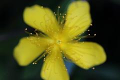 Chinese Hypericum (seiji2012) Tags: ビョウヤナギ ハイペークラム マクロ 接写 ボケ macro blur bokeh flower