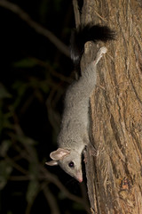 Brush-tailed Phascogale - Phascogale tapoatafa (Wildlife, Landscape and Travel - Jono Dashper) Tags: brushtailed phascogale tapoatafa one best encounters i have had with this awesome marsupial melbourne victoria wildlife nature mammal