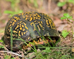 Eastern Box Turtle (msembeck) Tags: turtle eastern box detweilerpark