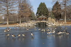 _MG_5490a (Rick_Moeller) Tags: nature wildlife birds stferdinandpark florissant missouri mo outdoors geese canada