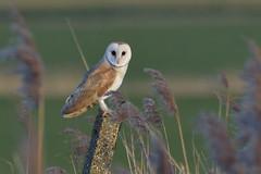Barn Owl (KHR Images) Tags: barnowl tytoalba wild bird birdofprey perched nenewashes cambridgeshire eastanglia fens wildlife nature nikon d500 kevinrobson khrimages
