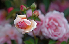 La vie en roses (Ciceruacchio) Tags: vie life vita rose rosa fleur fiore flower nikond750