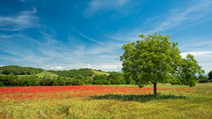 Poppyland (Karsten Gieselmann) Tags: 1240mmf28 baum blau blumen blüten bäume em5markii europa filter frühling grün hoya italien italy jahreszeiten landschaft mzuiko microfourthirds mohn natur olympus pflanzen polarisationsfilter polfilter rot sonne toskana tuscany valdorcia wetter blossom blue flower green kgiesel landscape m43 mft nature polarizingfilter poppy red seasons spring sun tree trees weather