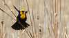 Yellow-Headed Blackbird (Bill G Moore) Tags: bird yellowheaded blackbird wildlife canon colorado perched feathers