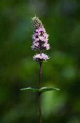 Peppermint (uhx72) Tags: flower blossom flora herbs nature