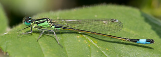 Blue-tailed Damselfly 4