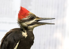 Pileated Woodpecker Female Portrait (ksblack99) Tags: pileatedwoodpecker dryocopuspileatus woodpecker bird burkelakebandingstation bath michigan 1styear female