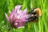 Common Carder Bumblebee on Red Clover (AndyorDij) Tags: commoncarderbumblebee bombuspascuorum redclover trifoliumpratense gunnellane sssi england empingham rutland uk unitedkingdom andrewdejardin spring 2018