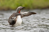 Red-throated Loon (Gavia stellata) - BC (bcbirdergirl) Tags: redthroatedloon bc wingflap flapping wingstretch gaviastellata redthroateddiver magical