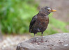 Female Blackbird (eric robb niven) Tags: ericrobbniven scotland blackbird female wildlife wildbird nature springwatch