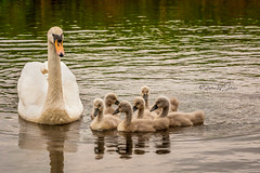_DSC.0057  - Proud mother swan (SWJuk) Tags: burnley england unitedkingdom swjuk uk gb britain lancashire canal leedsliverpoolcanal water flat calm swans adultswan cygnets young 2018 may2018 spring nikon d7100 nikond7100 nikkor70200mm rawnef lightroomclassiccc