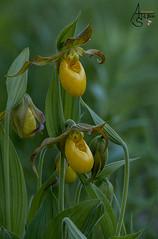 lesser yellow lady slipper, cypripedium parviflorum var. parviflorum forma biflorum (ats8110) Tags: lesseryellowladyslipper cypripedium parviflorum var forma biflorum d700 nikon michigan native wild