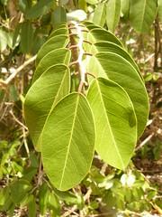 Cynophalla flexuosa (tammoreichgelt) Tags: bottle wiss capparaceae leaves foliage dog caper limber saint john lameshur bay