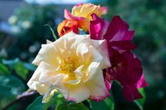 Rose (Andrew Kettell) Tags: rose flower