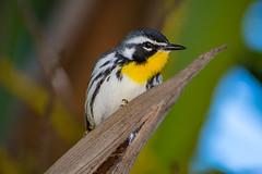 Yellow Throated Warbler Portrait (Lee532) Tags: throated yellow warbler bird nature wildlife wild riviera maya mexico birding nikon d500 wood tree forest