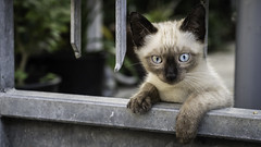 I was just waiting for you to come! (voxpepoli) Tags: cat sony a7iii siamese kittem pet gato eyes blueeyes animal
