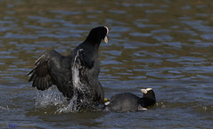 Coots fighting as normal. (Explored). (spw6156 - Over 6,560,030 Views) Tags: coots fighting normal copyright steve waterhouse explored