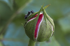 Alone on a Budding  Rose (brucetopher) Tags: rose bud rosebud ant bug insect 6 six legs leg legged pink red blossom flower opening open eat eating graze hunt hunting forage foraging climb solitary alone one 1 petal petals stem longstem roses black blackant garden bokeh acqua green teal flickrfriday single