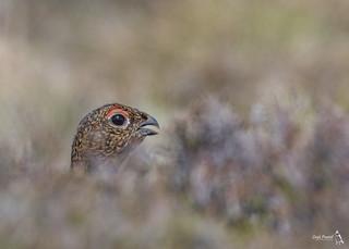 Red Grouse, Lagopus lagopus
