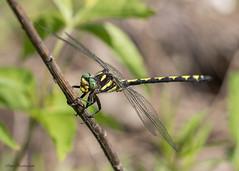 Arrowhead Spiketail (sbuckinghamnj) Tags: arrowheadspiketail spiketail mountainsidepark pequannock newjersey odonate dragonfly insect