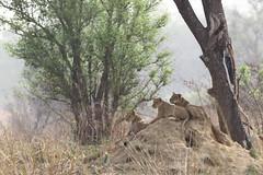Lions (Jonas Van de Voorde) Tags: pendjari benin westafrica jonasvandevoorde safari wildlife nature animals lion pantheraleo