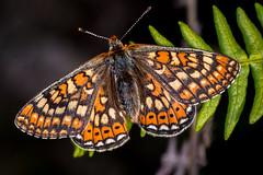 Marsh Fritillary (Chris-Henry) Tags: marshfritillary butterfly murloughnnr colourful nature wild wildlife ireland northernireland lepidoptera euphydryasaurinia