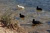 Erfrischender Montag Morgen (Sockenhummel) Tags: bleshuhn ente schlachtensee ufer wasser see lake ducks wasservögel erfrischend berlin fuji x30 fujifilm finepix