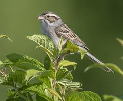 Clay-colored Sparrow (Spizella pallida) (mesquakie8) Tags: bird sparrow standingontopofbushbranches adultmale periodicallycalling claycoloredsparrow spizellapallida ccsp horiconmarshnwr dodgecounty wisconsin 2466