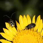 Diabrotica undecimpunctata and Mordellidae sp. thumbnail