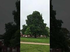 Horse Chestnut (Aesculus hippocastanum) - tree - June 2018 (Exeter Trees UK) Tags: horse chestnut aesculus hippocastanum tree june 2018
