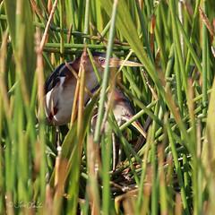 Least Bitterns (TomLamb47) Tags: nature wildlife bird least bittern lebi nest marsh wetland swamp preserve fruitland park florida fl canon 1d4 100400mm
